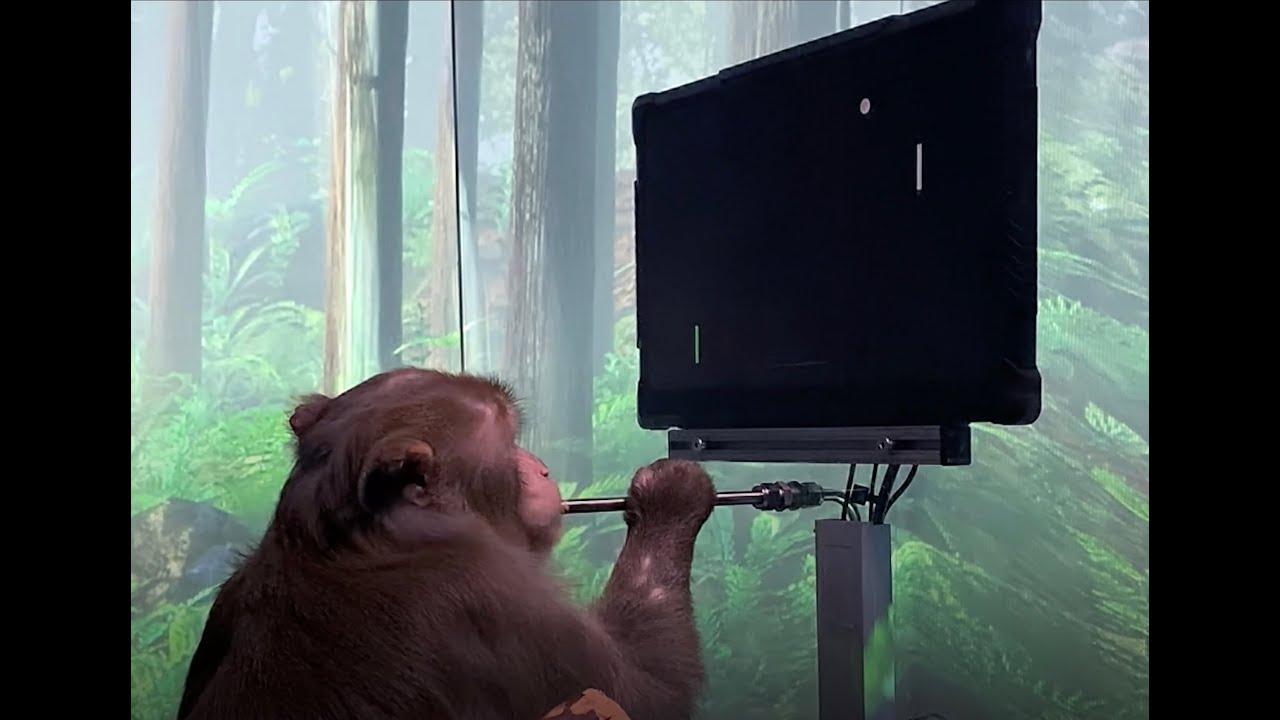 Стартап Илона Маска Neuralink показал работу нейроинтерфейса в действии на примере мартышки, которая играет в пинг-понг буквально силой мыслей